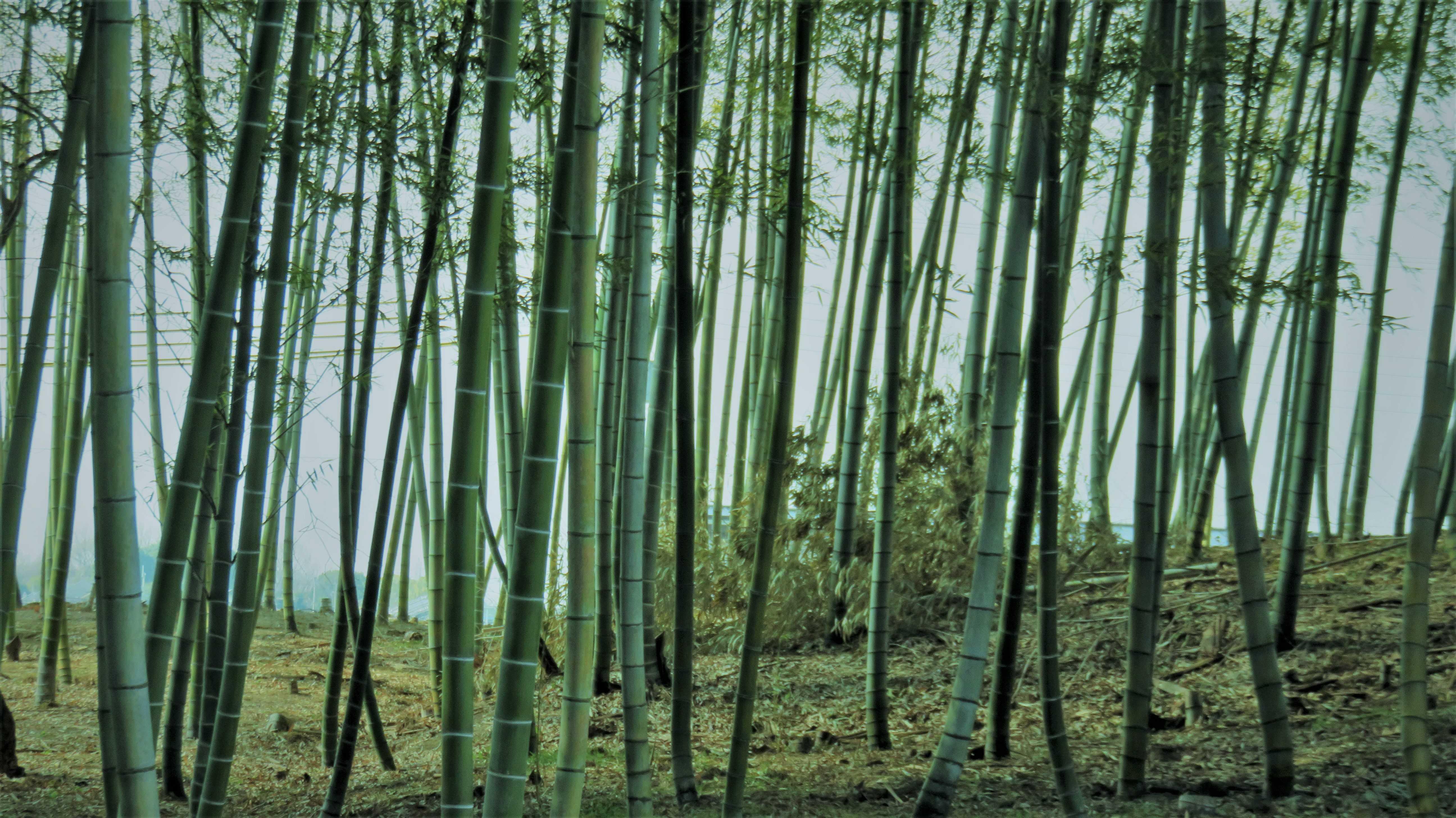 5・散吉郷の竹林